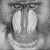 Click image for larger version.  Name:baboon.png Views:189 Size:233.1 KB ID:2953